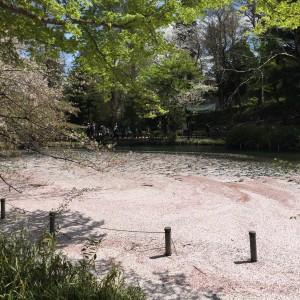 Sakuralardan dökülen yapraklar böyle nehirler oluşturuyor..